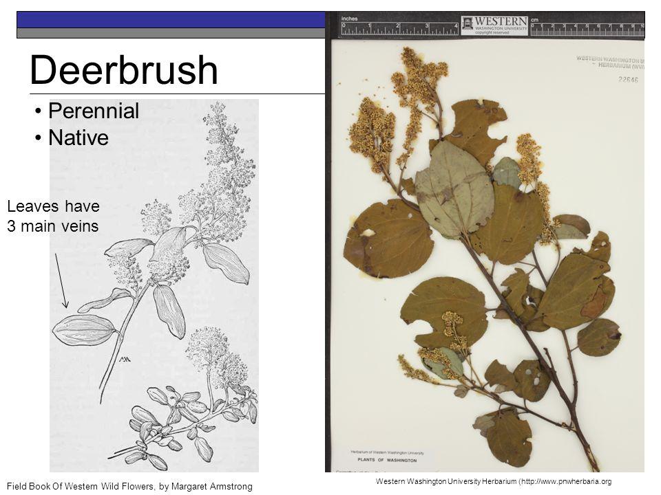 Deerbrush Perennial Native Field Book Of Western Wild Flowers, by Margaret Armstrong Leaves have 3 main veins Western Washington University Herbarium (http://www.pnwherbaria.org