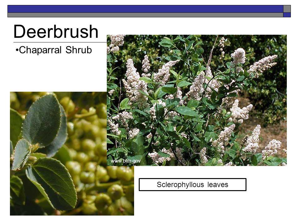 Deerbrush Chaparral Shrub Sclerophyllous leaves www.blm.gov