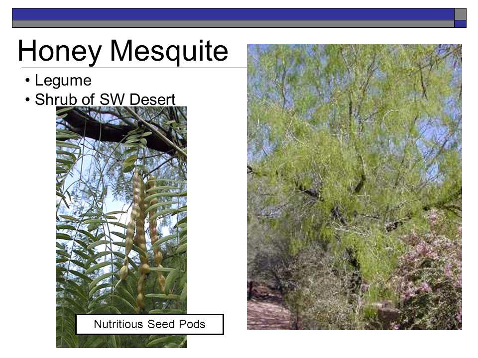 Honey Mesquite Legume Shrub of SW Desert Nutritious Seed Pods