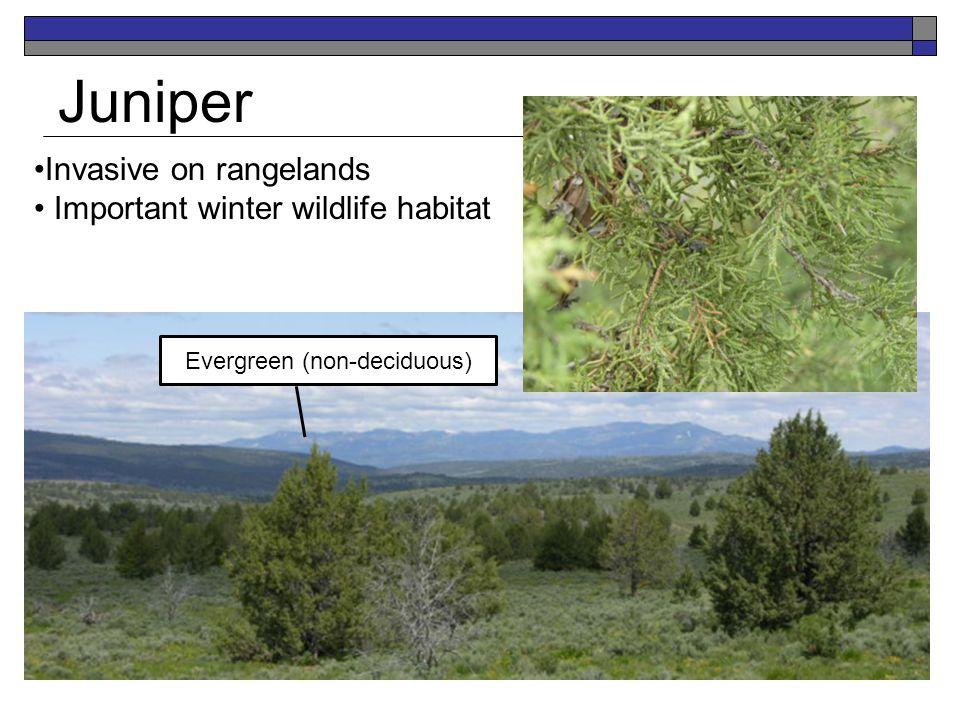 Juniper Invasive on rangelands Important winter wildlife habitat Evergreen (non-deciduous)