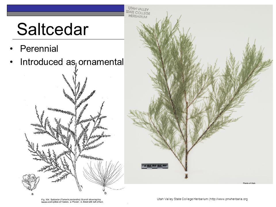 Saltcedar Perennial Introduced as ornamental K.