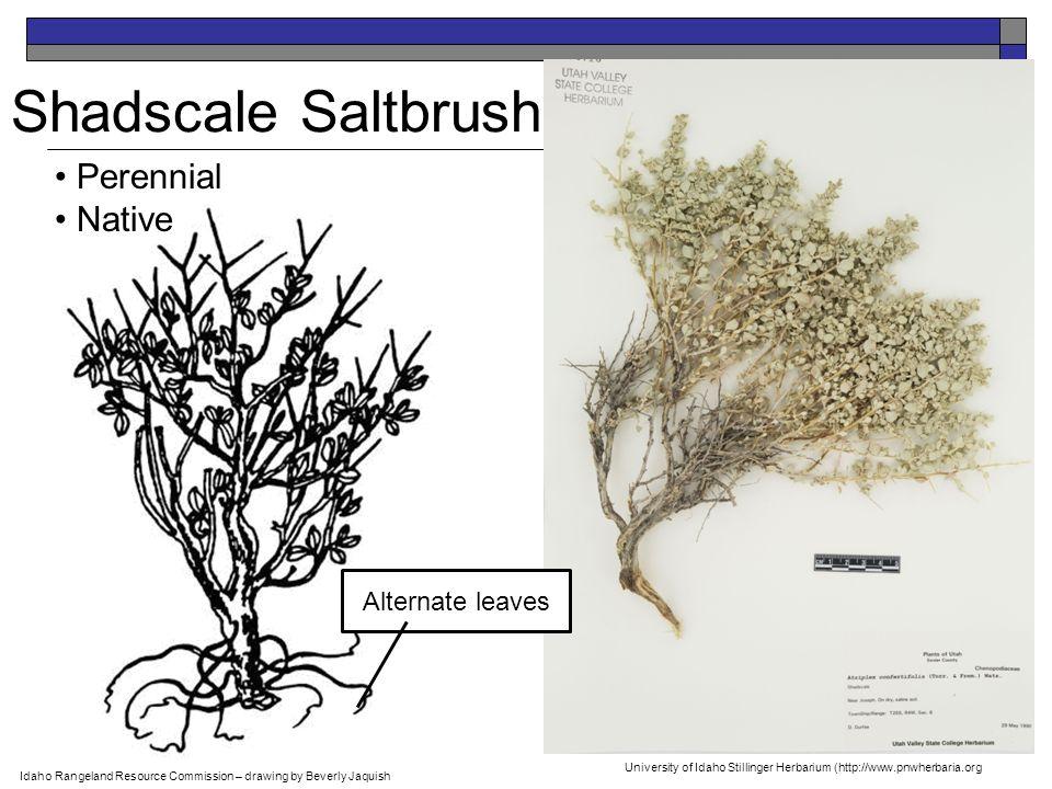 Shadscale Saltbrush Perennial Native Idaho Rangeland Resource Commission – drawing by Beverly Jaquish Alternate leaves University of Idaho Stillinger Herbarium (http://www.pnwherbaria.org