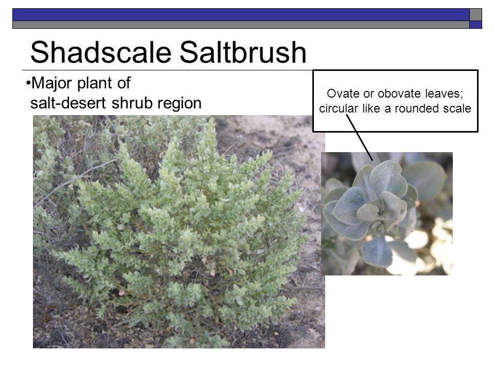Shadscale Saltbrush Major plant of salt-desert shrub region Ovate or obovate leaves; circular like a rounded scale