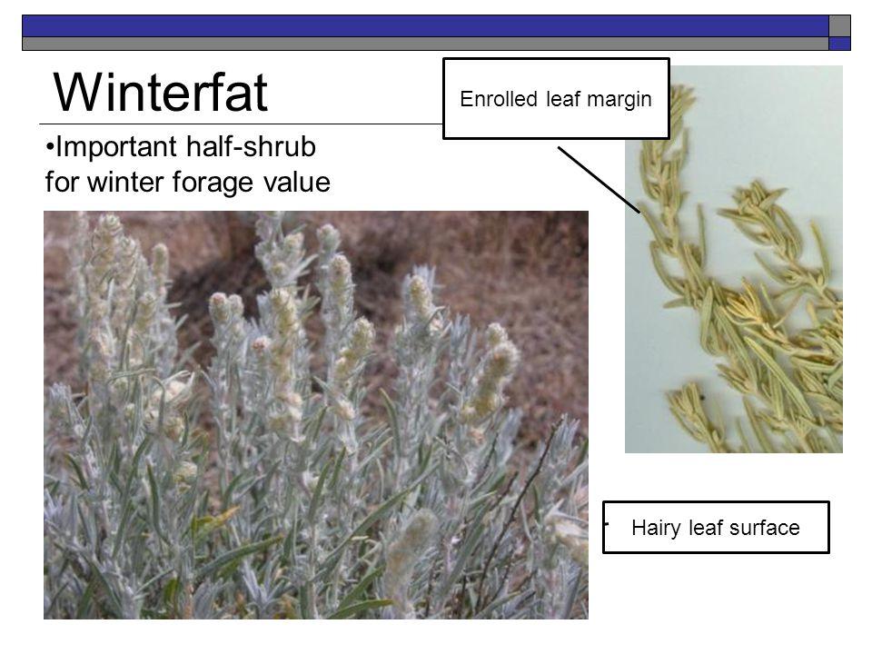 Winterfat Important half-shrub for winter forage value Enrolled leaf margin Hairy leaf surface