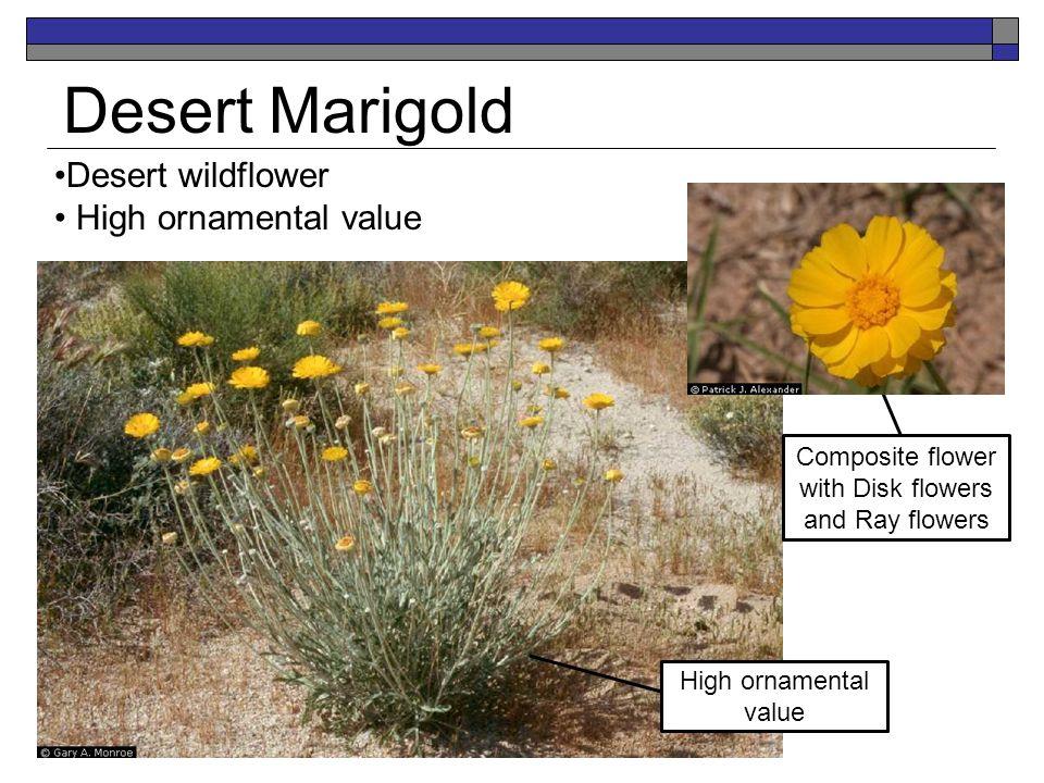 Desert Marigold Desert wildflower High ornamental value Composite flower with Disk flowers and Ray flowers High ornamental value