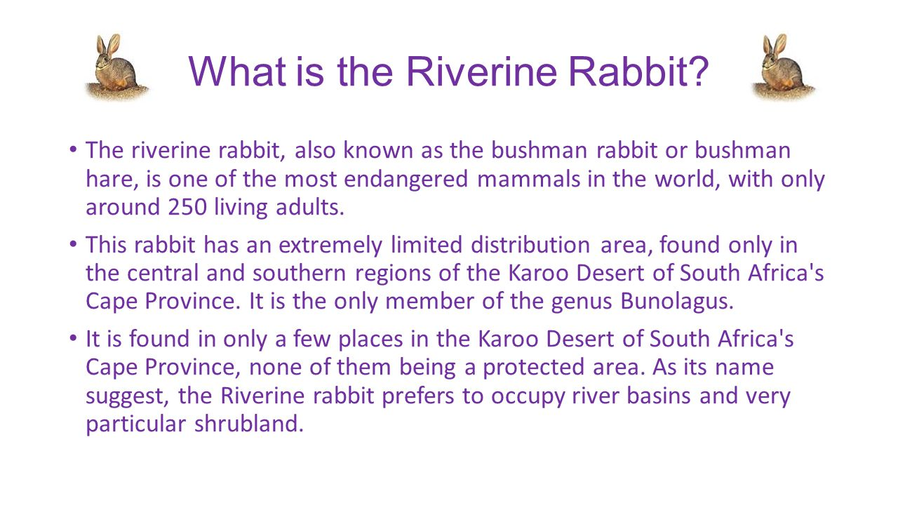 What is the Riverine Rabbit.