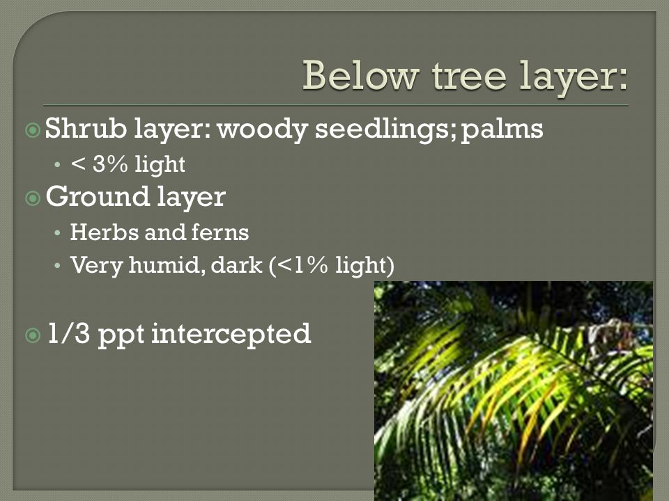  Shrub layer: woody seedlings; palms < 3% light  Ground layer Herbs and ferns Very humid, dark (<1% light)  1/3 ppt intercepted