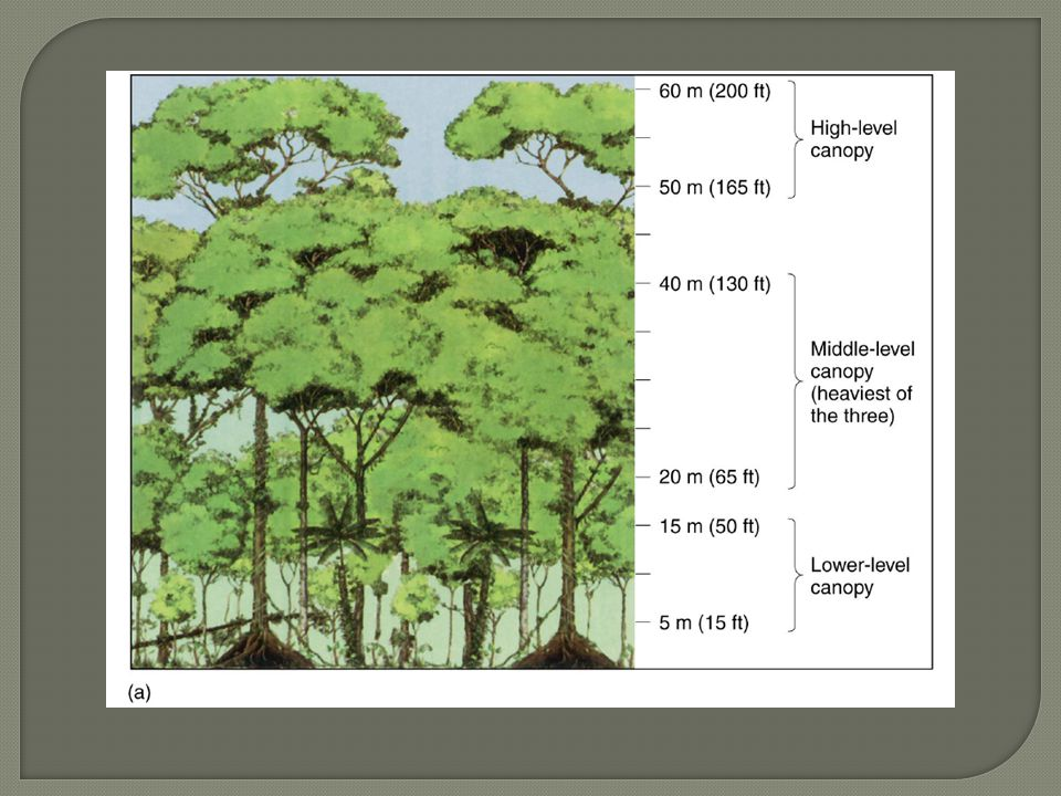  Abundant habitats and niches  Canopy: Emergents: highest trees (150 - 200 ft tall)  no branches at low levels  Buttresses  Umbrella-shaped canopy Middle Layer (65 - 130 ft tall)  Reduces light below Lower Layer (15 - 50 ft tall)  High humidity, lack of air movement