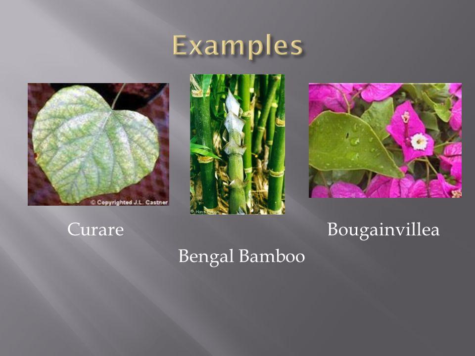 Curare Bougainvillea Bengal Bamboo