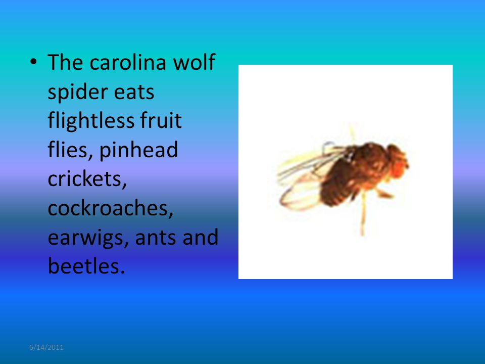 6/14/2011 The carolina wolf spider eats flightless fruit flies, pinhead crickets, cockroaches, earwigs, ants and beetles.