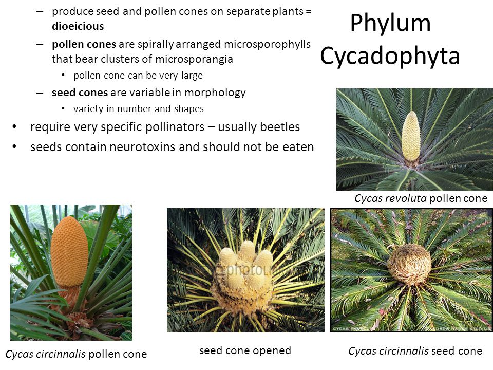Phylum Gnetophyta 3 genera of gymnosperms: 1.