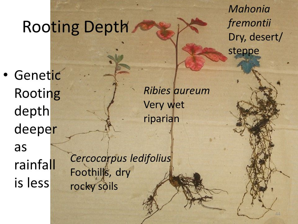 Rooting Depth Genetic Rooting depth deeper as rainfall is less Cercocarpus ledifolius Foothills, dry rocky soils Ribies aureum Very wet riparian Mahonia fremontii Dry, desert/ steppe 44