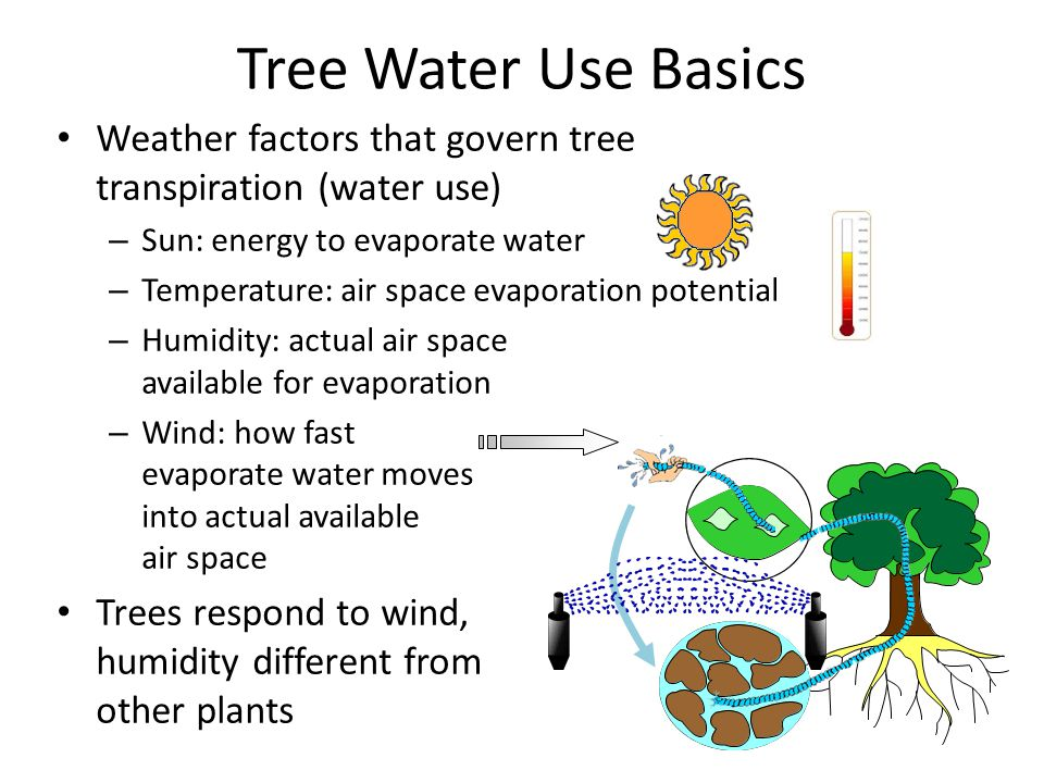 Tree Water Use Basics Weather factors that govern tree transpiration (water use) – Sun: energy to evaporate water – Temperature: air space evaporation potential – Humidity: actual air space available for evaporation – Wind: how fast evaporate water moves into actual available air space Trees respond to wind, humidity different from other plants