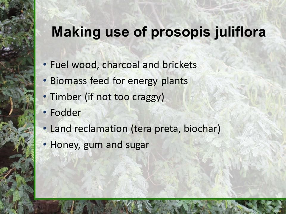 Making use of prosopis juliflora Fuel wood, charcoal and brickets Biomass feed for energy plants Timber (if not too craggy) Fodder Land reclamation (t
