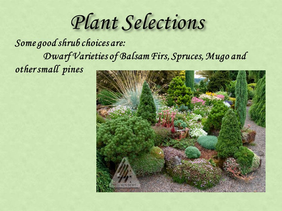 Some good shrub choices are: Dwarf Varieties of Balsam Firs, Spruces, Mugo and other small pines