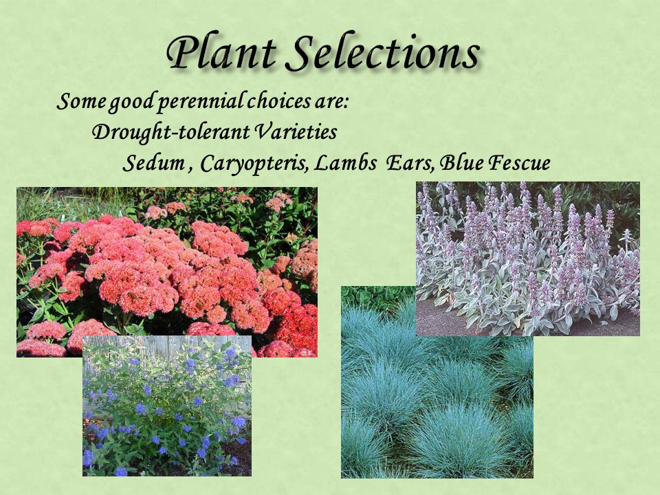 Some good perennial choices are: Drought-tolerant Varieties Sedum, Caryopteris, Lambs Ears, Blue Fescue