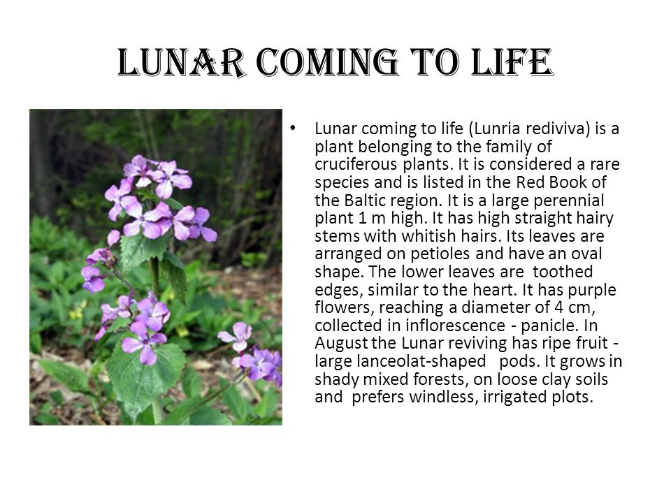 Lunar coming to life Lunar coming to life (Lunria rediviva) is a plant belonging to the family of cruciferous plants.