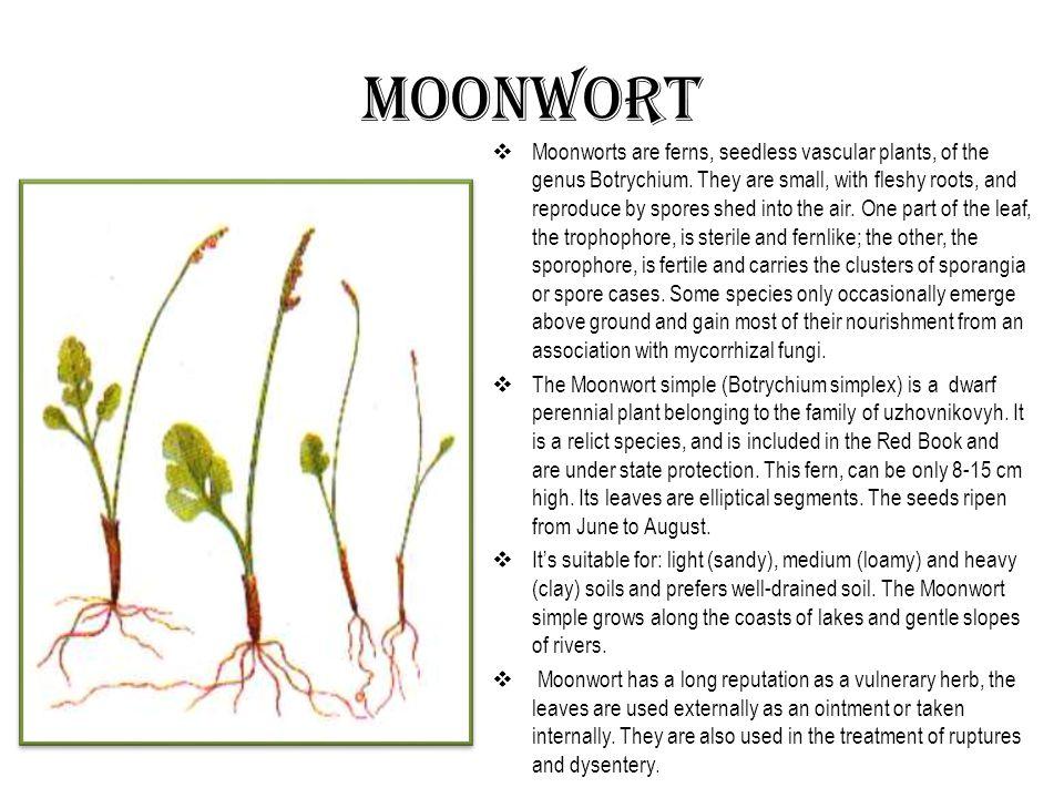 Moonwort  Moonworts are ferns, seedless vascular plants, of the genus Botrychium.