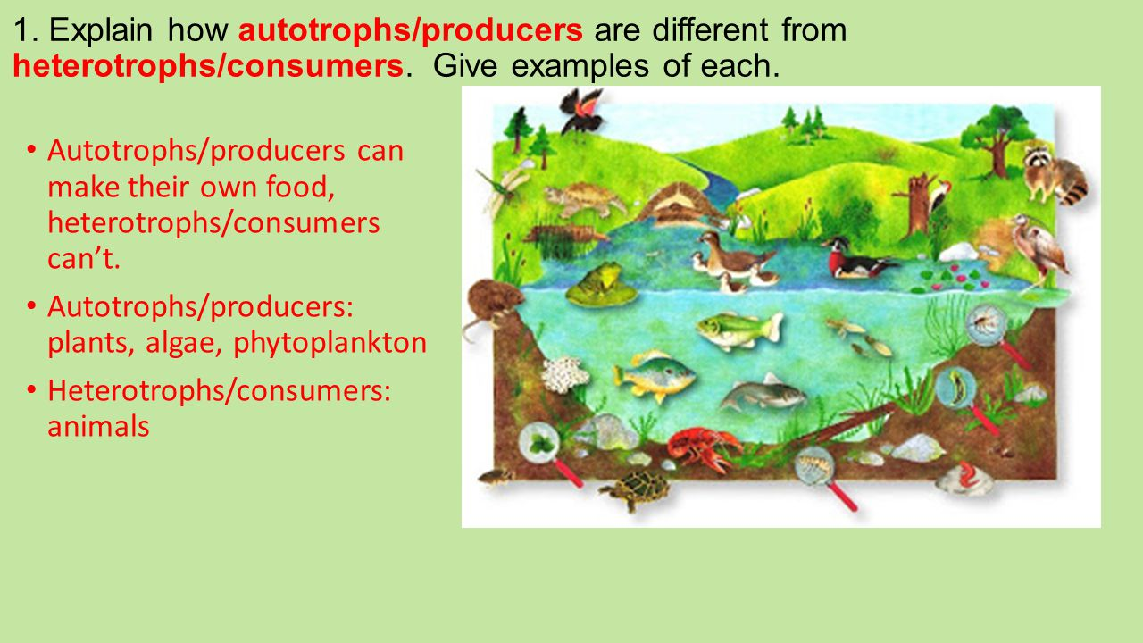 1. Explain how autotrophs/producers are different from heterotrophs/consumers. Give examples of each. Autotrophs/producers can make their own food, he