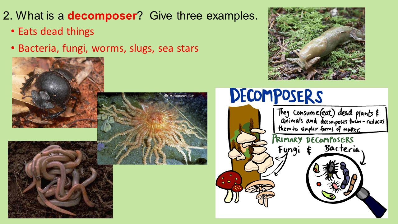 2. What is a decomposer? Give three examples. Eats dead things Bacteria, fungi, worms, slugs, sea stars