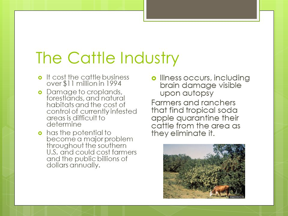 The Cattle Industry  It cost the cattle business over $11 million in 1994  Damage to croplands, forestlands, and natural habitats and the cost of control of currently infested areas is difficult to determine  has the potential to become a major problem throughout the southern U.S.