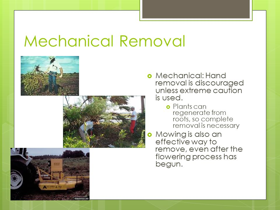 Mechanical Removal  Mechanical: Hand removal is discouraged unless extreme caution is used.  Plants can regenerate from roots, so complete removal i