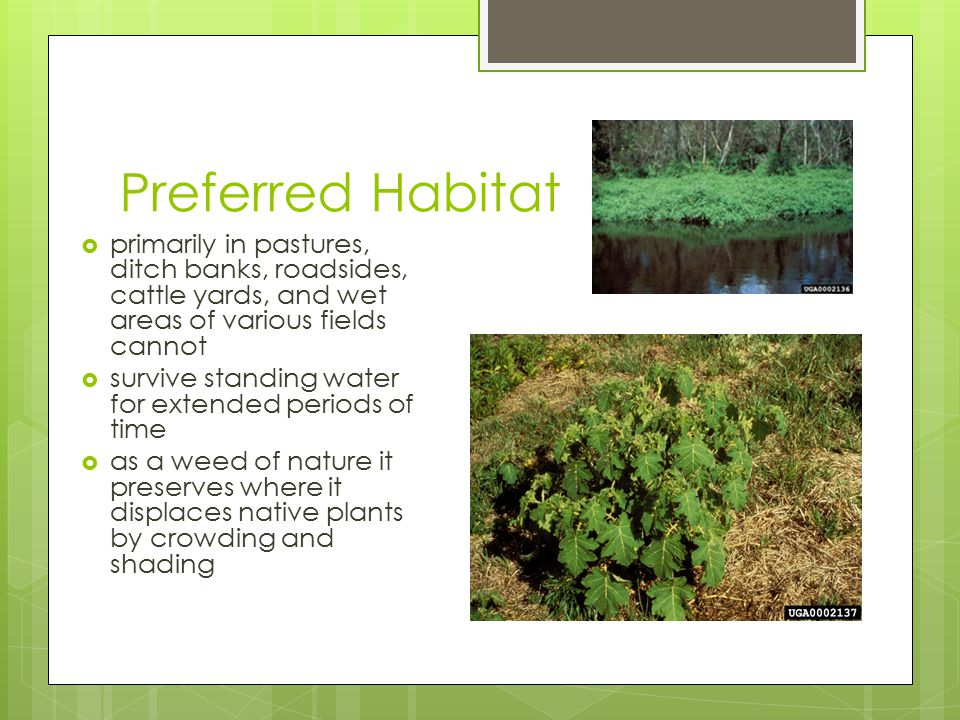 Preferred Habitat  primarily in pastures, ditch banks, roadsides, cattle yards, and wet areas of various fields cannot  survive standing water for e