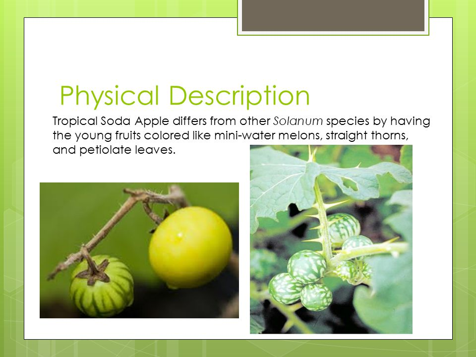 Physical Description Tropical Soda Apple differs from other Solanum species by having the young fruits colored like mini-water melons, straight thorns