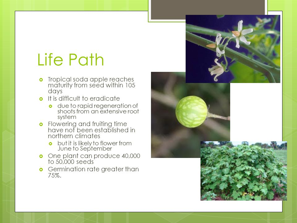 Life Path  Tropical soda apple reaches maturity from seed within 105 days  It is difficult to eradicate  due to rapid regeneration of shoots from a