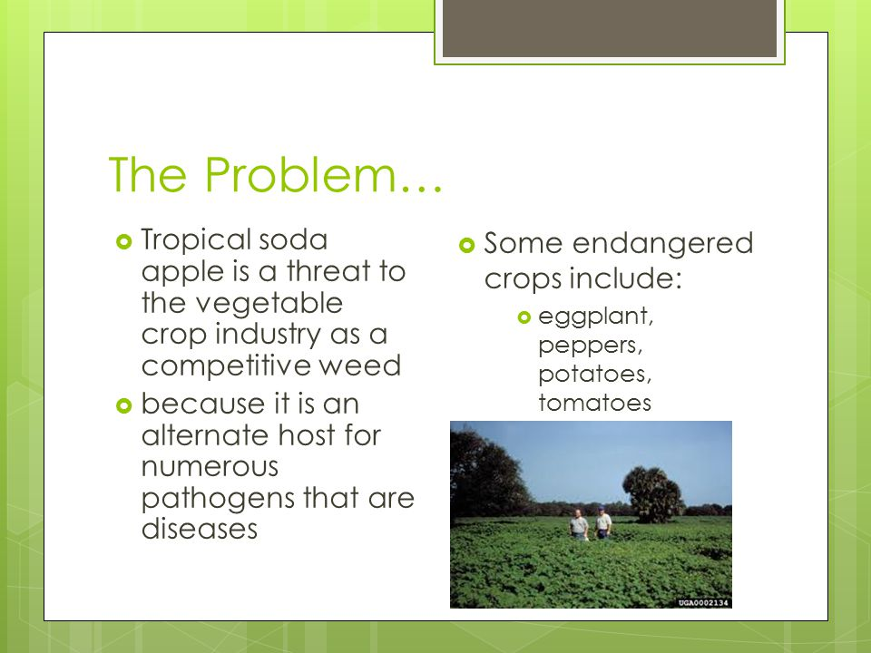 Infections  These vegetable crop patho-gens include:  the cucumber mosaic virus,  Gemini virus,  potato leafroll virus,  potato virus Y,  tobacco etch virus,  tomato mosaic virus,  tomato mottle virus,  and the fungal pathogen, Alternaria solani