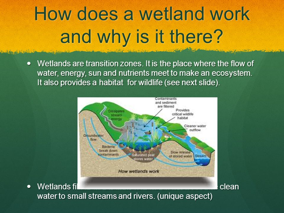 How does a wetland work and why is it there? Wetlands are transition zones. It is the place where the flow of water, energy, sun and nutrients meet to
