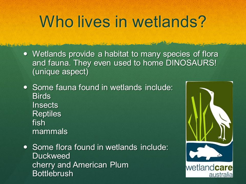 Who lives in wetlands? Wetlands provide a habitat to many species of flora and fauna. They even used to home DINOSAURS! (unique aspect) Wetlands provi