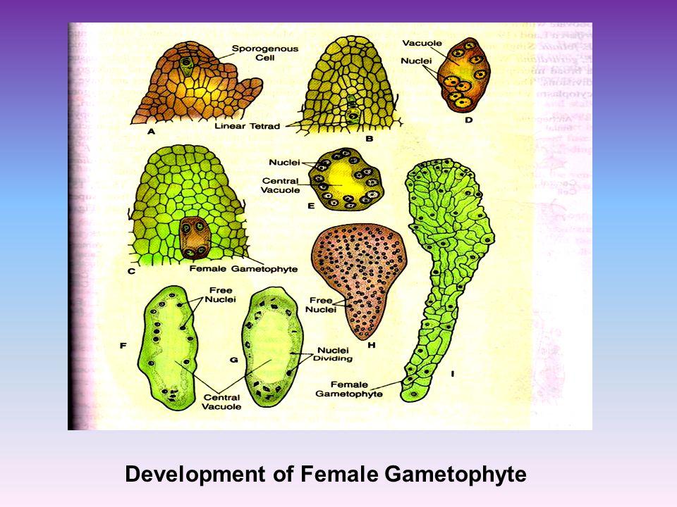 Development of Female Gametophyte
