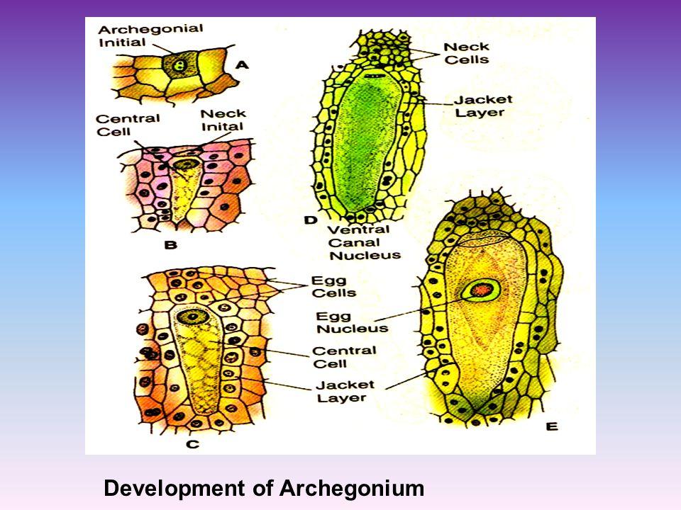 Development of Archegonium