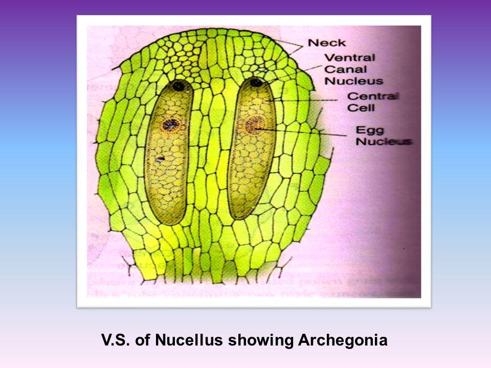 V.S. of Nucellus showing Archegonia