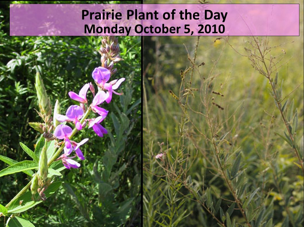 Prairie Plant of the Day Monday October 5, 2010
