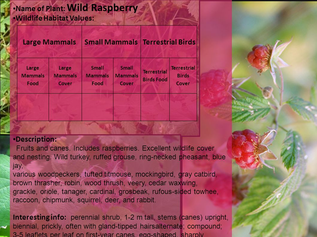 Name of Plant: Wild Raspberry Wildlife Habitat Values: Description: Fruits and canes.