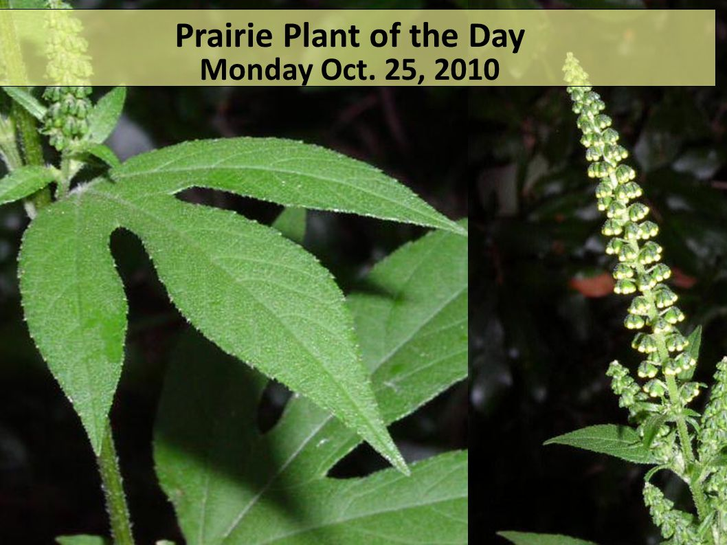 Prairie Plant of the Day Monday Oct. 25, 2010