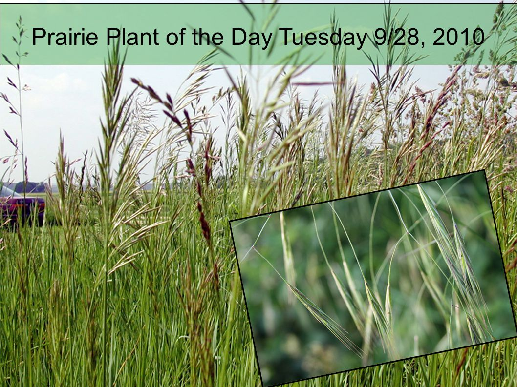 Name: Giant Ragweed Wildlife Habitat Values: Description of Plant: This is a native annual plant from 3-12 tall, branching occasionally.