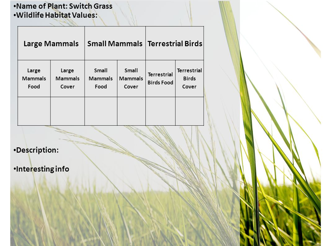 Name of Plant: Switch Grass Wildlife Habitat Values: Description: Interesting info Large MammalsSmall MammalsTerrestrial Birds Large Mammals Food Large Mammals Cover Small Mammals Food Small Mammals Cover Terrestrial Birds Food Terrestrial Birds Cover