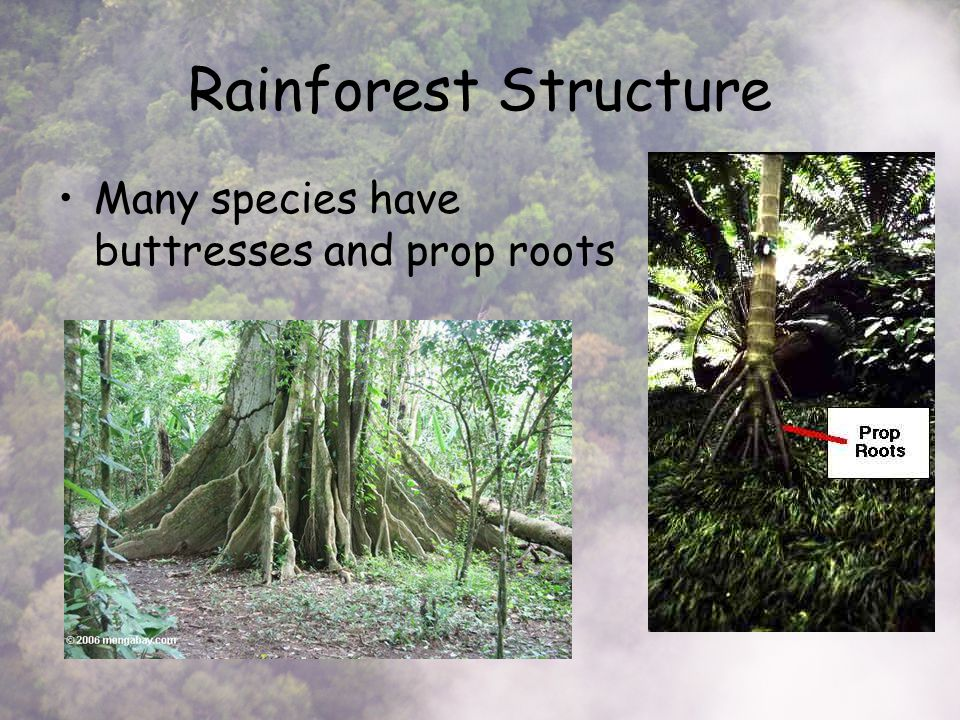 Rainforest Structure Many species have buttresses and prop roots