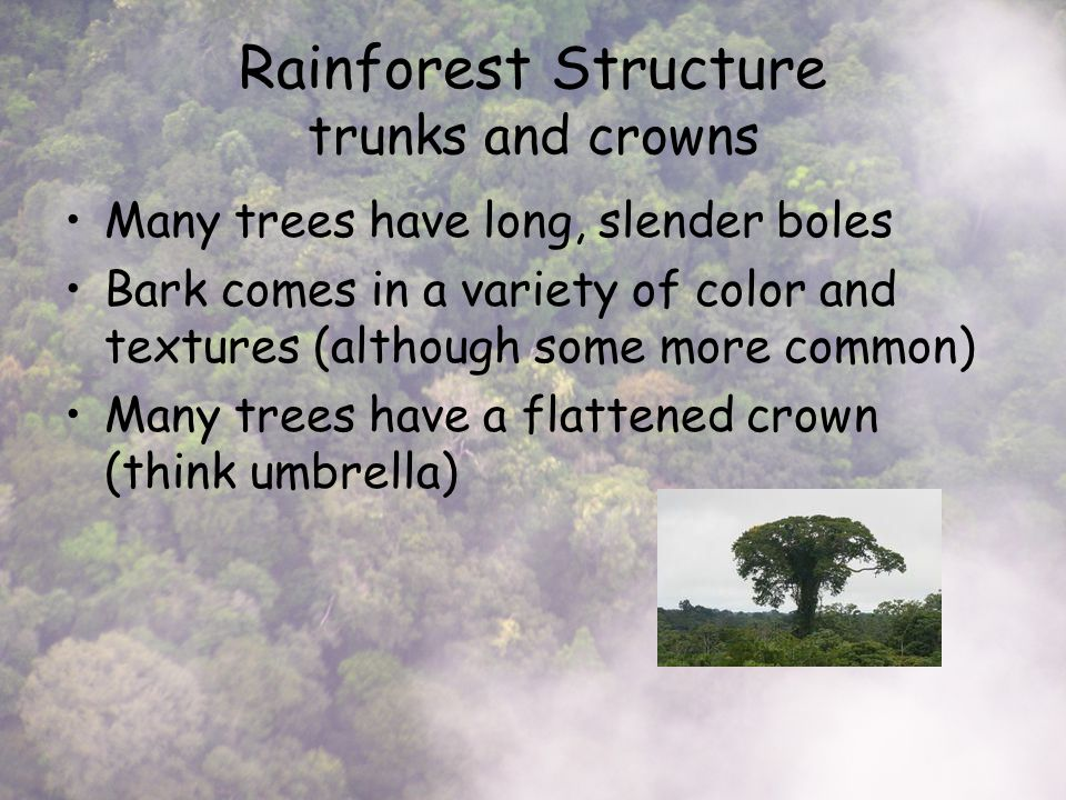 Rainforest Structure trunks and crowns Many trees have long, slender boles Bark comes in a variety of color and textures (although some more common) Many trees have a flattened crown (think umbrella)