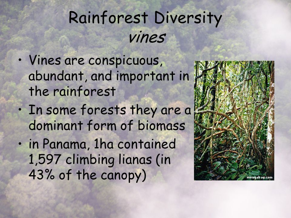 Rainforest Diversity vines Vines are conspicuous, abundant, and important in the rainforest In some forests they are a dominant form of biomass in Panama, 1ha contained 1,597 climbing lianas (in 43% of the canopy)