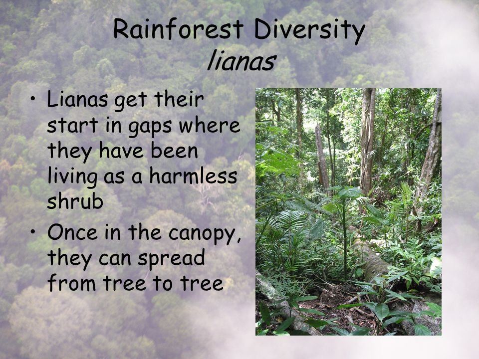 Rainforest Diversity lianas Lianas get their start in gaps where they have been living as a harmless shrub Once in the canopy, they can spread from tree to tree