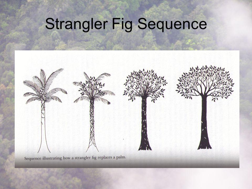 Strangler Fig Sequence