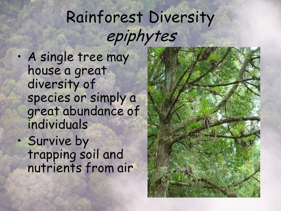 Rainforest Diversity epiphytes A single tree may house a great diversity of species or simply a great abundance of individuals Survive by trapping soil and nutrients from air