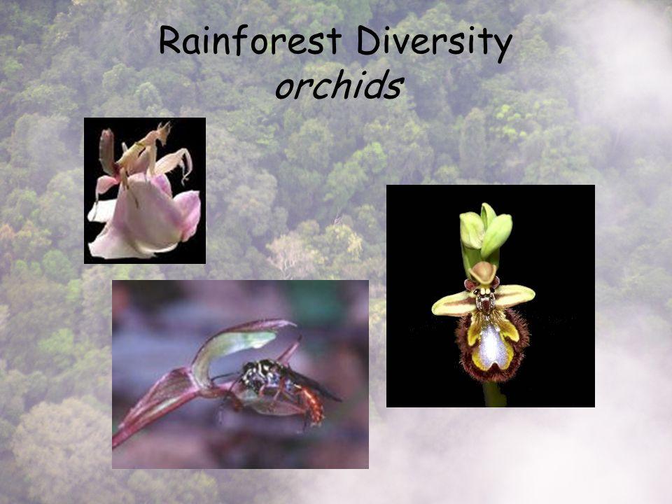 Rainforest Diversity orchids