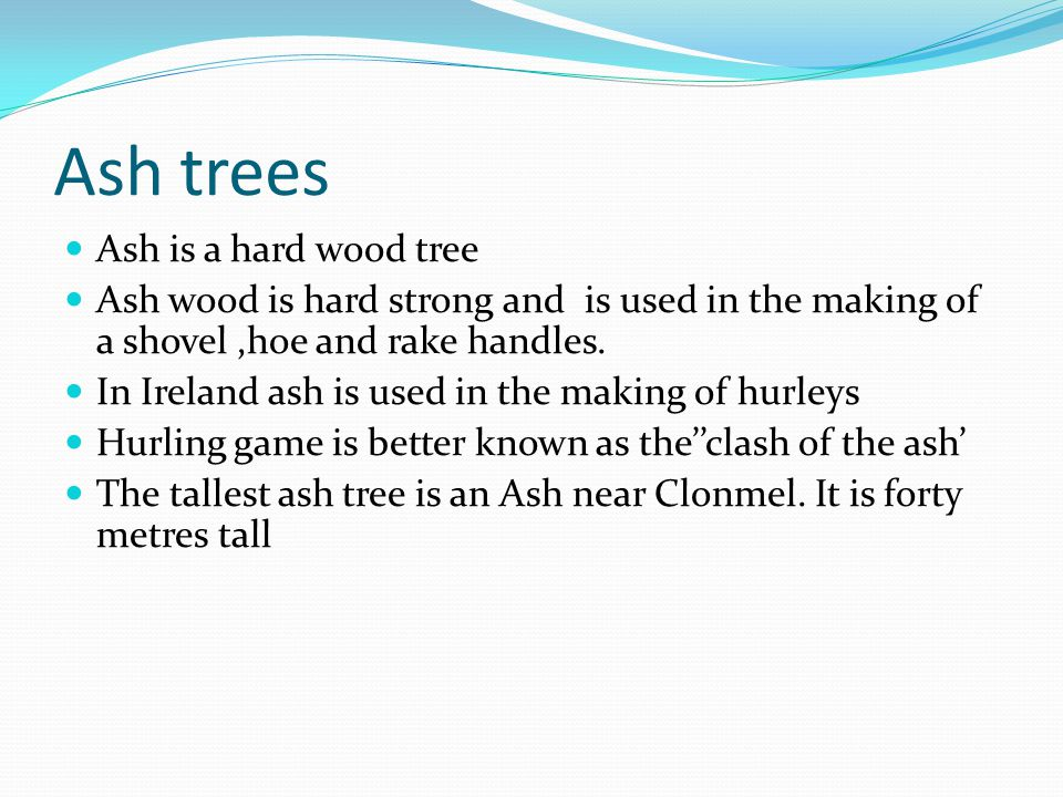 Ash trees Ash is a hard wood tree Ash wood is hard strong and is used in the making of a shovel,hoe and rake handles.