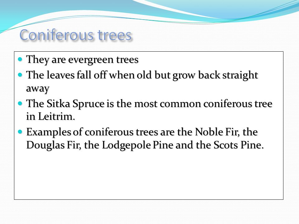They are evergreen trees They are evergreen trees The leaves fall off when old but grow back straight away The leaves fall off when old but grow back straight away The Sitka Spruce is the most common coniferous tree in Leitrim.