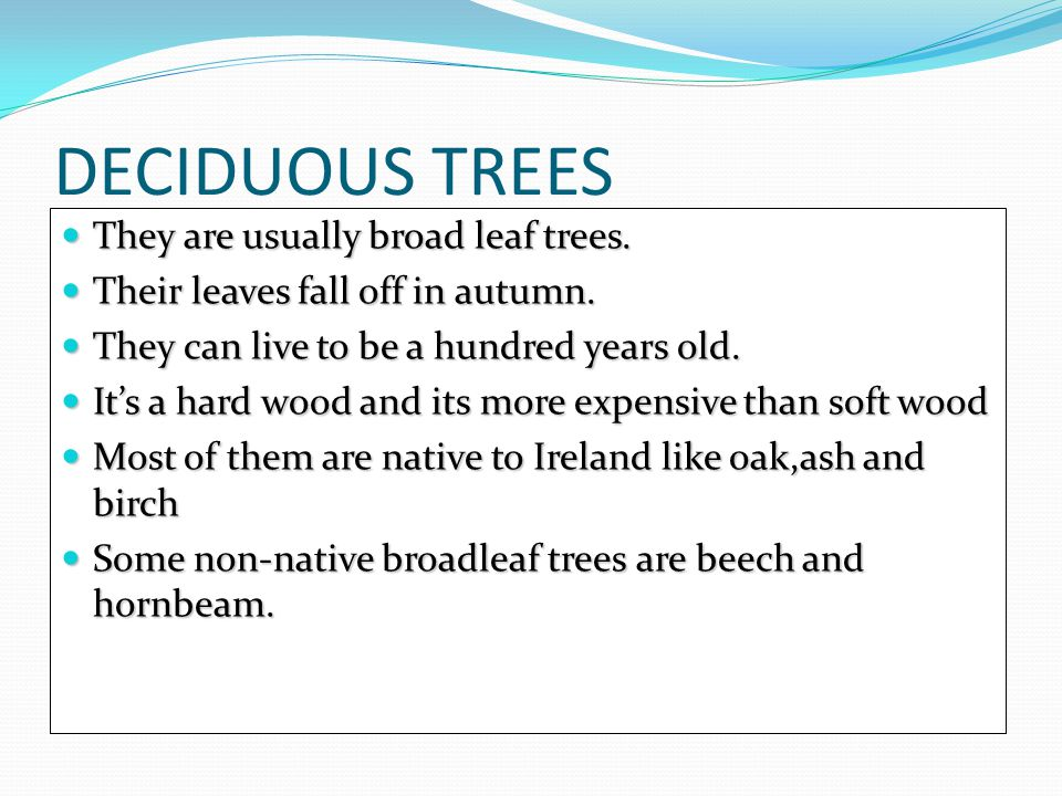 Birch Birch trees may grow in pairs or clusters Birch trees may grow in pairs or clusters They grow in peaty soils They grow in peaty soils Birch nutlets are small and grown in a cone Birch nutlets are small and grown in a cone The Silver Birch is a common tree in Ireland.